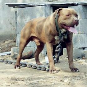 供应比特犬多少钱/比特犬价格图片