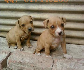 供应比特犬养殖场/比特犬哪里有卖的图片