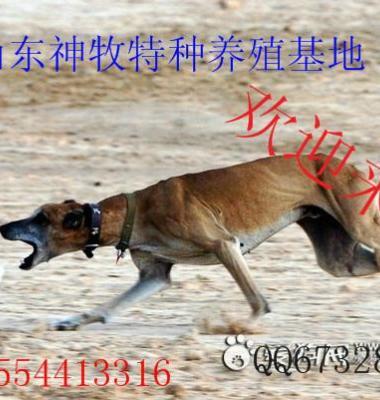 格力犬猎兔视频图片/格力犬猎兔视频样板图 (3)