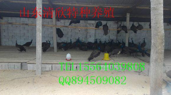 供应广西孔雀图片
