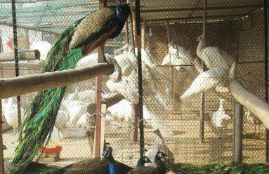 供应哪里有白孔雀养殖基地图片