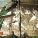 供应哪里有白孔雀养殖基地、哪里有白孔雀专业的养殖基地