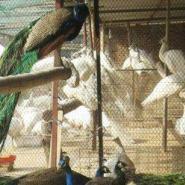 哪里有白孔雀养殖基地图片