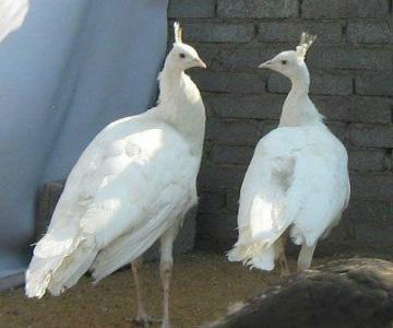 供应白孔雀种苗,白孔雀出售图片