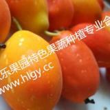 供应红参果甜蜜果种苗供应商 甜蜜果种苗