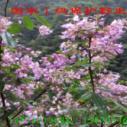国家一级保护植物伯乐树苗图片