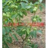3公分以上各种核桃树图片