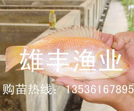 供应红罗非鱼苗繁育场-【全国批发红罗非鱼苗】