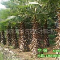 供应华盛顿棕榈华棕老人葵杆高1-7米