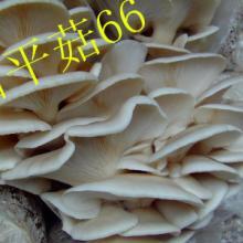 供应食用菌平菇菌种——白平66母种、原种、栽培种 食用菌平菇菌种