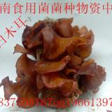 供应食用菌木耳菌种——黄白木耳一级母种食用菌木耳菌种黄白木耳