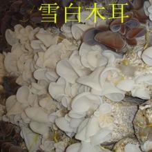 供应食用菌木耳菌种雪白木耳原种 栽培种 一级母种 试管母种 颗粒菌种