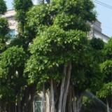 供應榕樹盆景--漳州榕樹盆景