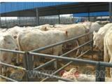 供应山西黄牛养殖基地小黄牛的价格