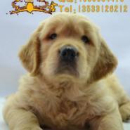 广州买金毛犬纯种金毛犬多少钱一只图片