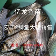 供应宏丰2鲫鱼大量出售、图片