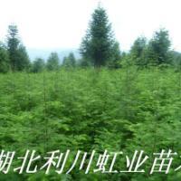 供应1米以上水杉树苗