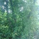 供应黄葛树小叶榕刺桐重阳木天竹桂樱花