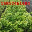 广州降香黄檀(黄花梨)30公分起图片