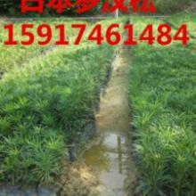 供应日本罗汉松优惠批发出售,广州绿化种苗,造林苗优惠批发出售,罗汉松批发