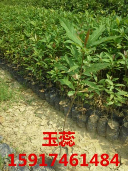 供应用于绿化造林的广东50公分高玉蕊树苗批发价,南方60公分高玉蕊袋苗供货商,广州70公分高玉蕊种苗便宜报价