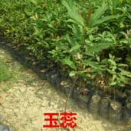 广州玉蕊图片