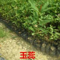 供应玉蕊苗木便宜价钱,广东玉蕊小苗价格,广州玉蕊袋苗供应商
