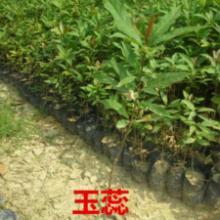 供应南方玉蕊树苗供应,南方30公分高玉蕊小苗清货价,南方玉蕊种苗报价