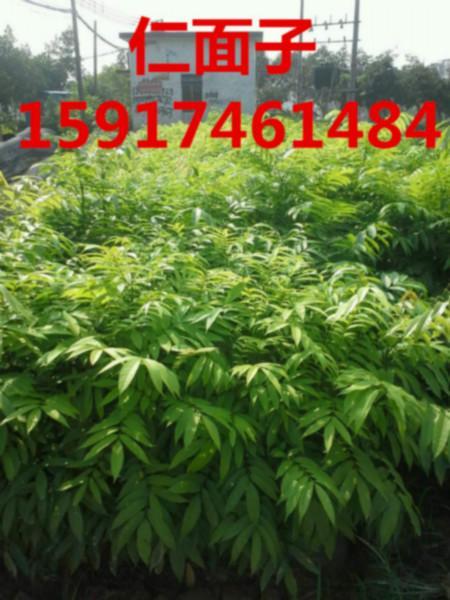 供应用于绿化造林使用的广东广州人面子小苗批发商报价,南方人面子种苗价格,广东70公分高人面子袋苗便宜报价