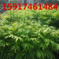 供应用于绿化造林的南方40公分高人面子树苗批发商,广东50公分高人面子种苗价格,广州60公分高人面子袋苗价格