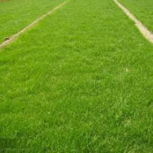 供应草坪,草坪价格,草坪厂家,草坪基地