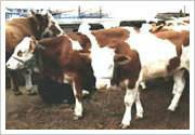 供应用于育肥与繁殖的西门塔尔牛品种