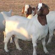 长得最快的羊羔图片