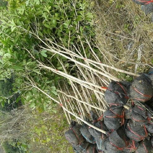 供应八月桂2-3公分优质桂花树