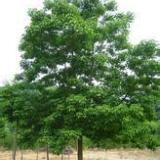 供应山东重阳木-山东重阳木价格-山东重阳木种植地
