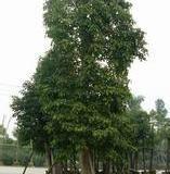 供应江苏盐城重阳木种植基地电话,8公分重阳木最新价格