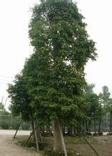供应批发重阳木-安徽大量批发重阳木-哪里有批发重阳木供货商