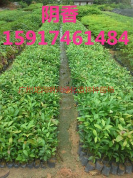 供应广东阴香小苗,阴香种苗供应商,广东阴香出售价,南方阴香苗木便宜价