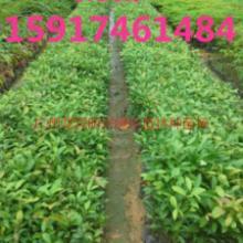 供应用于绿化造林的广东30公分高阴香树苗哪里实惠,广州40公分高阴香种苗供货商,南方60公分高阴香小苗批发报价