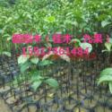供应广州桂木,优惠出售桂木苗木及其他绿化种苗 造林苗,广州桂木市场价