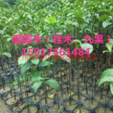 廣東廣州、胭脂木、九果 廣東廣州、胭脂木、九果一米起圖片