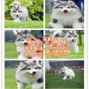供应广州哪里买阿拉斯加好 正规狗场出售大型巨型纯种阿拉斯加犬