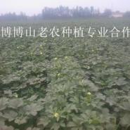 无锡黄秋葵供应价格图片