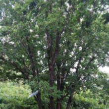 供应丛生蒙古栎,东北丛生蒙古栎价格批发