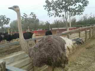 (鸵鸟)养殖可行性报告图片