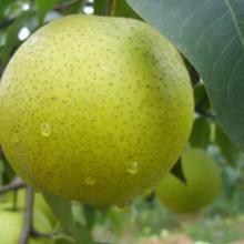 供应砀山酥梨,砀山酥梨价格,砀山酥梨报价