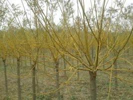 黄金槐也称黄茎槐或称黄枝槐,属蝶形花科落叶乔木。其特点是树茎、枝为金黄色,特别是在冬季,这种金黄色更浓、更加艳丽。