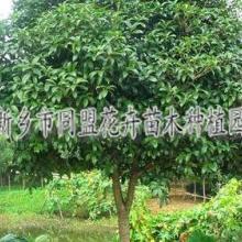供应河南绿化苗木