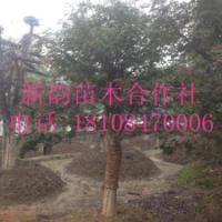 供应日本红枫,美国红枫,红枫树桩