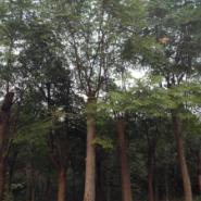 3-25公分栾树种植供应图片